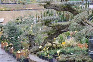 Olivier à plateau (macro bonsaï)