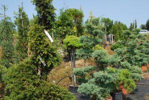 Taxus et junipérus en taille topiaire
