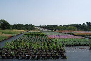 Pennisetum villosum, Carex buchananii, Festuca glauca, Pennisetum alopecuroides, Lavandula 'richard grey', Physostegia virginiana, Geranium rozanne, Euphorbia chariacas 'wulfenii'