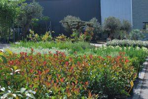 Photinias, griselinia littoralis, ligustrum du Texas, pittosporum