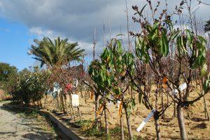 Prunus poirier