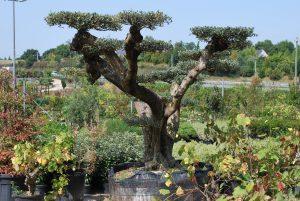 Olivier macro bonsaï plateau