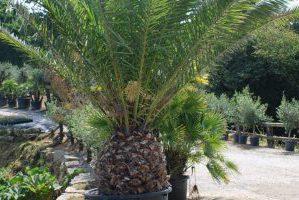 Palmier, plant d'exception